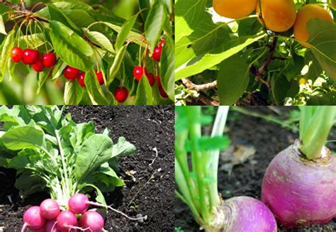 Gardening Fruits And Vegetables 12 Fast Growing Vegetables And Fruit Trees For Your Home