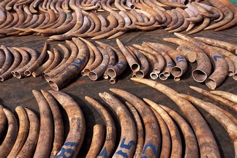 elephant ivory be to animals elephant poaching in india