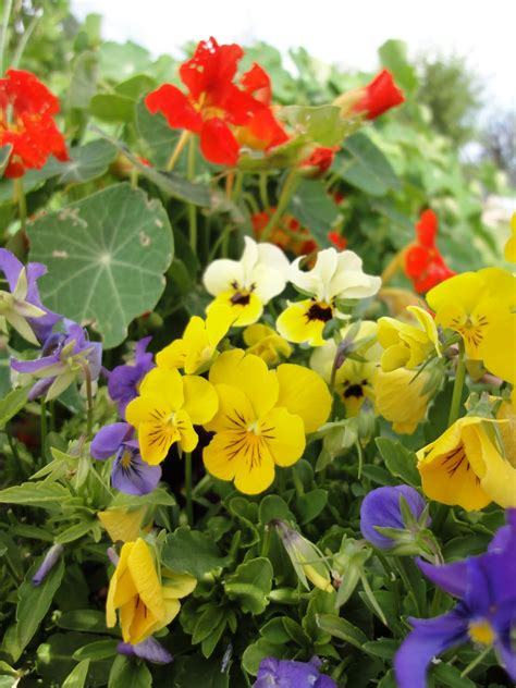 Edible Garden Flowers S Cooking And Gardening Flowers And Edible Landscaping