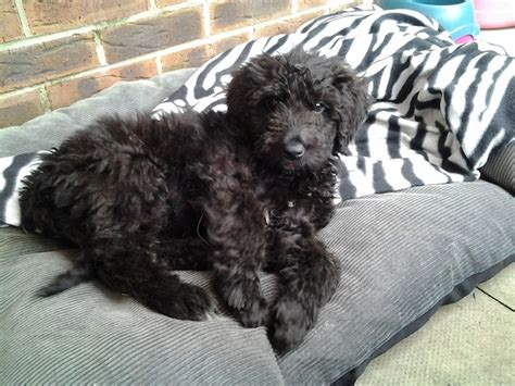newfoundland poodle puppies newfypoo newfoundland poodle mix info puppies and pictures