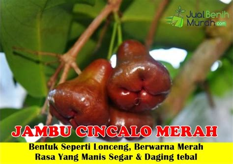 Bibit Jambu Air Cincalo Merah jambu cincalo merah jualbenihmurah