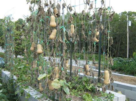 Butternut Squash Trellis bountiful trellised squash abundant mini gardens