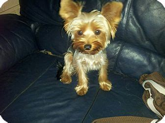 yorkie puppies fort lauderdale royal adopted puppy fort lauderdale fl yorkie terrier