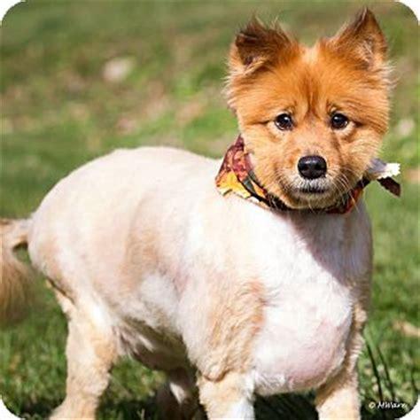 shetland sheepdog pomeranian mix tobie adopted minneapolis mn sheltie shetland sheepdog pomeranian mix