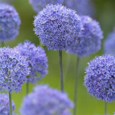 allium azureum caeruleum flower bulbs x 100 internet gardener