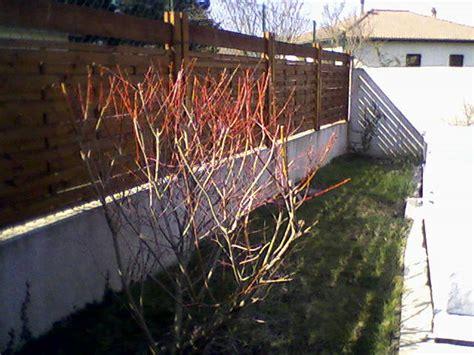 Saule Crevette Hiver saule crevette pas au jardin forum de jardinage