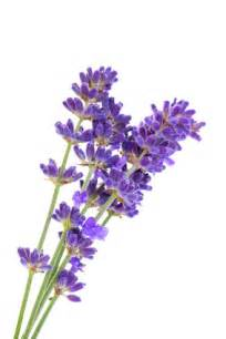 Roll Flowers - lavande vraie lavande aspic quelle diff 233 rence menthe