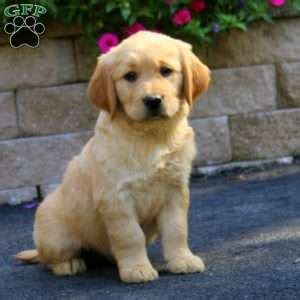 yellow lab golden retriever mix puppies for sale golden retriever mixed with labrador puppies for sale goldenacresdogs