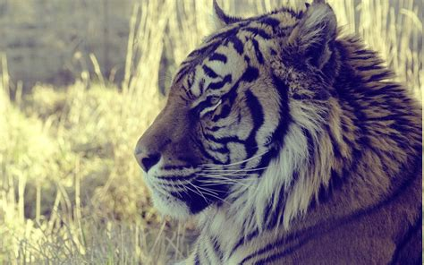 wallpaper tumblr tiger animals tiger wallpapers hd desktop and mobile backgrounds