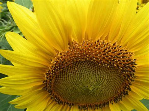 kansas sunflower 50 state flowers 1 pinterest 119 best images about all about kansas on pinterest post