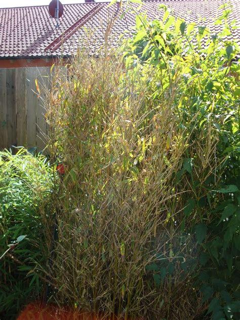bambus krankheiten bambus wird braun auch neuaustriebe wo liegt das