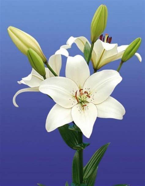 imagenes de lilis blancas producci 243 n venta y exportaci 243 n de variedades lilium flor