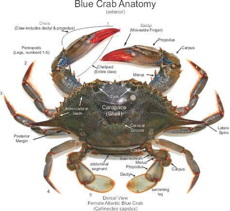 27 best images about blue crabs on pinterest crabs female atlantic blue crab anatomy callinectes sapidus