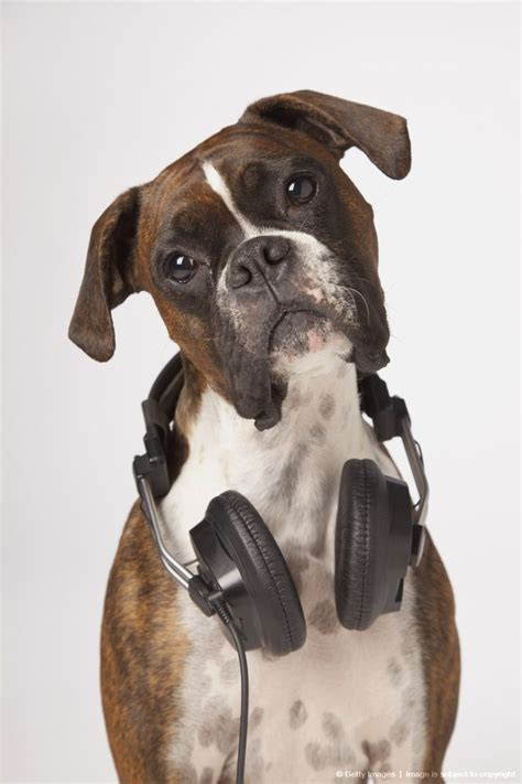 puppy with headphones boxer with headphones