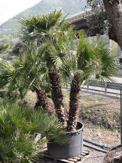 palme nane da giardino palma nana azienda florovivaistica rusconi luigi