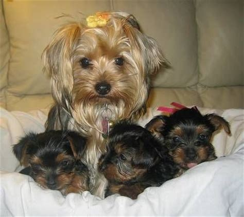 yorkies for sale in houston akc yorkie puppies for sale for sale in houston pets of breeds picture