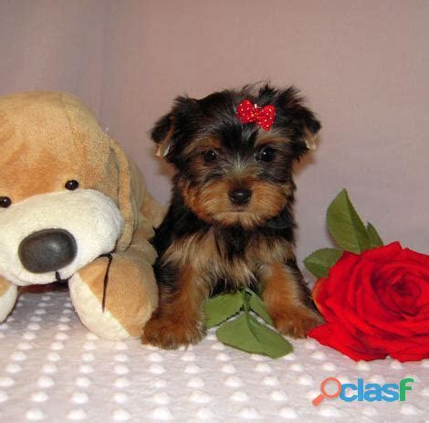 yorkies for adoption in tx teacup yorkie puppies for free adoption picture breeds picture