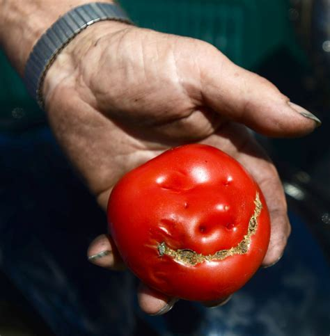 Photos: Tomato Grows in Galvin With Face   News