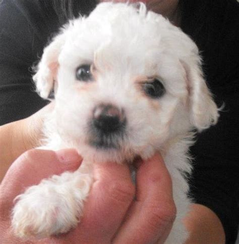maltese bichon puppies for sale maltese x bichon frise puppies for sale in rosewood queensland breeds picture
