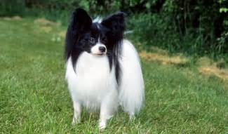do papillon dogs shed 8 cool wallpaper