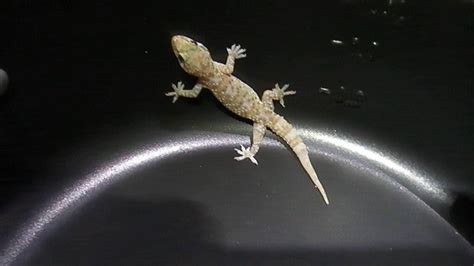 buy house gecko gecko on a teflon youtube