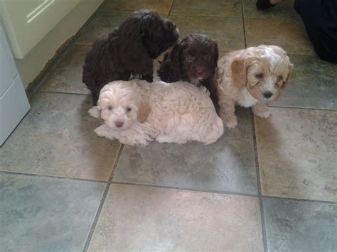 shih tzu cross poodle puppies shih tzu cross poodle puppies llantwit major vale of glamorgan pets4homes