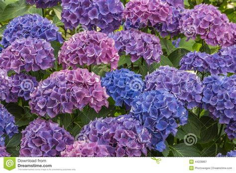 Hortensia Purple blue and purple hortensia flowers stock photo image 44228897