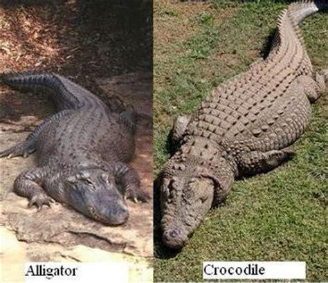 alligators and crocodiles national crocodile v s alligator difference between alligator and crocodile crocodile alligator