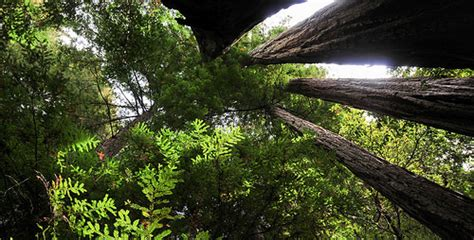 Redwood Lighting by Light In A Redwood Grove Flickr Photo