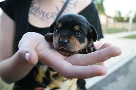 baby rottweilers baby rottweiler rottweiler doggys