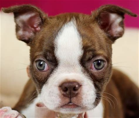 teacup boston terrier puppies for sale 25 best ideas about teacup boston terrier on teacup puppies small pug