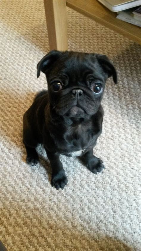 pugs for sale warrington pug puppy for sale warrington cheshire pets4homes