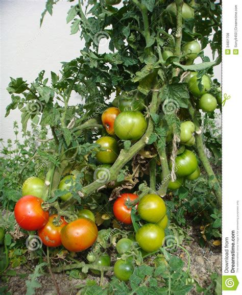 tomato garden royalty free stock photos image 34801708
