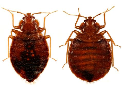 bugs mistaken for bed bugs bed bugs mistaken identity ibbra