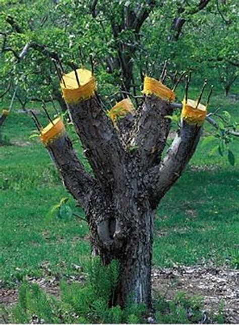 fruit tree grafting methods 1000 images about fruit tree grafting on