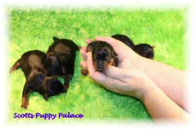 teacup yorkie puppies for sale in pittsburgh pin by crittergarden pittsburgh on do the right thing
