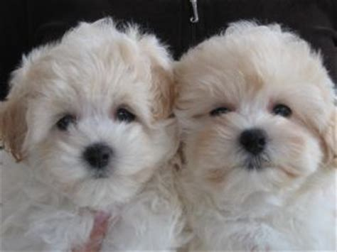 free puppies seattle maltese puppies for sale for sale adoption from seattle washington adpost
