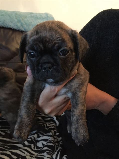 bulldog x pug puppies for sale bulldog x pug puppies for sale brighton east sussex pets4homes
