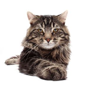 alimentazione maine coon maine coon albanesi it