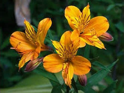 imagenes flores astromelias como cultivar alstroemerias en invernadero astromelia