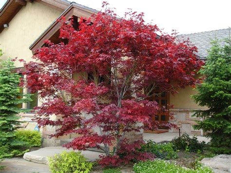 japanese maple red dragon landscape modern with