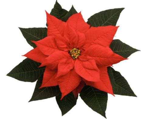paper poinsettia flowers pattern construction paper flowers ideas diy projects craft ideas