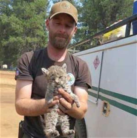adopt a pet bobcat needs a home insidehalton com rescued baby bobcat with rescuer global animal