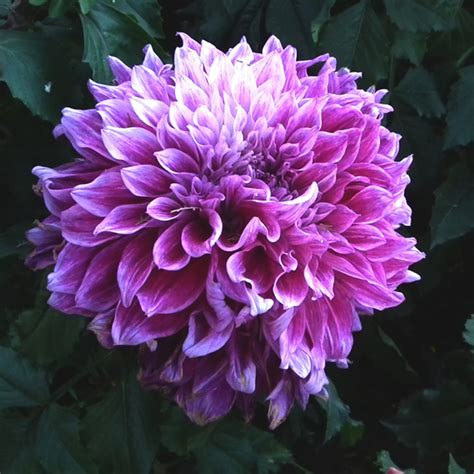 Bunga Dahlia Sweet Potatoes Import popular purple dahlias buy cheap purple dahlias lots from
