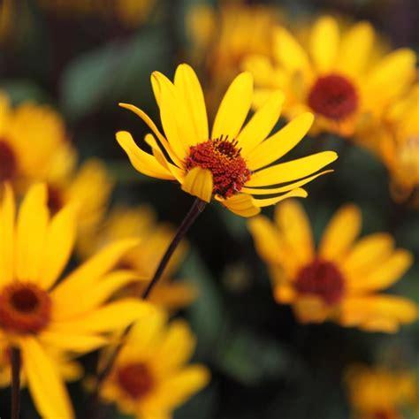 buy false sunflower heliopsis helianthoides var scabra