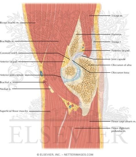 sagittal cross section cross section of the elbow sagittal view