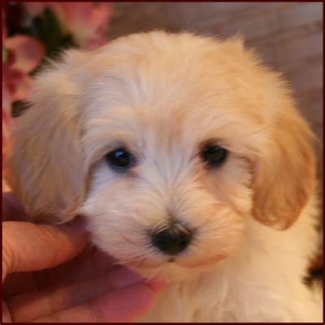 maltipoo puppy cut maltipoo puppies for sale breeders mixed breed dogs