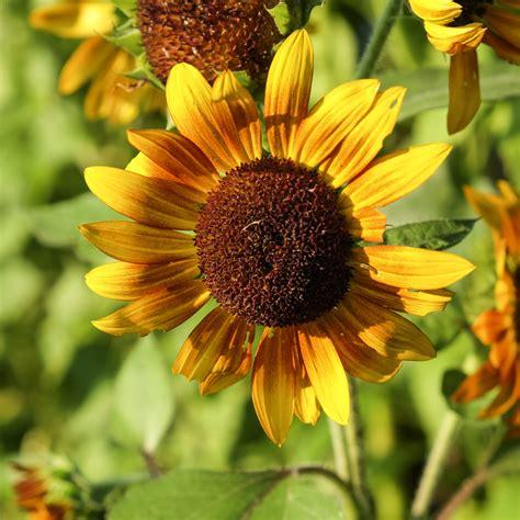 black sunflower seeds for deer flower photos lombardo photography