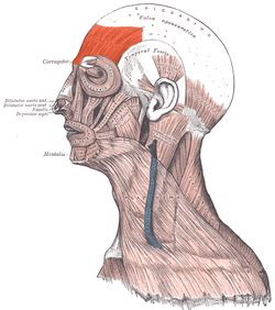 Frontalis muscle - Wikipedia Frontalis Muscle Origin Insertion Action