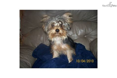yorkie puppies for sale in mo pin missouri yorkie puppies for sale terrier puppy breeder mo on